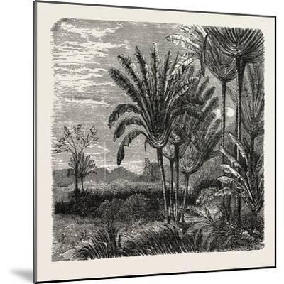 The Travellers Tree (Urania Speciosa)--Mounted Giclee Print