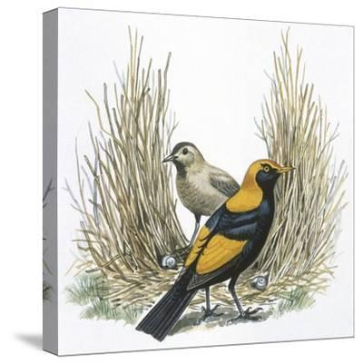 Birds: Passeriformes, Great Bowerbird, (Chlamydera Nuchalis)--Stretched Canvas Print