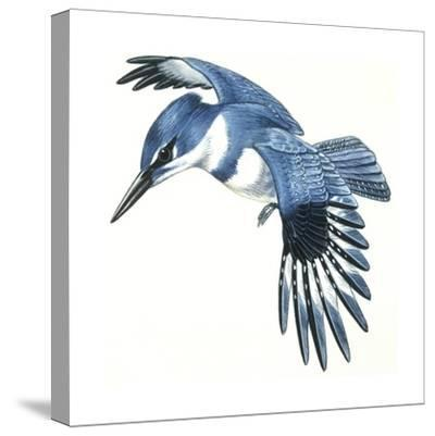 Birds: Coraciiformes, Belted Kingfisher (Megaceryle Alcyon)--Stretched Canvas Print