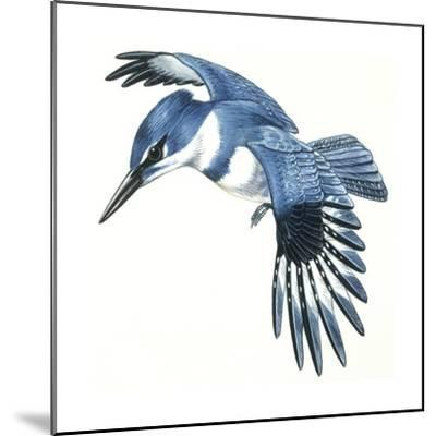 Birds: Coraciiformes, Belted Kingfisher (Megaceryle Alcyon)--Mounted Giclee Print
