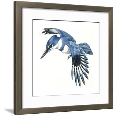 Birds: Coraciiformes, Belted Kingfisher (Megaceryle Alcyon)--Framed Giclee Print