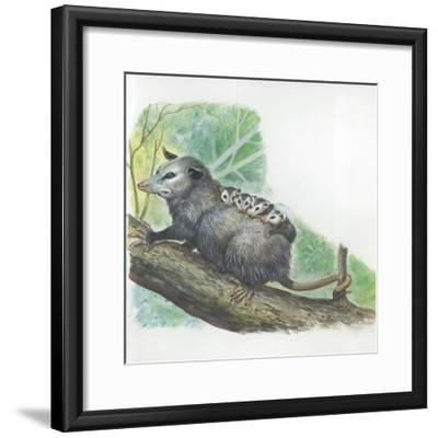 Virginia Opossum Didelphis Virginiana Carrying Cubs on Back--Framed Giclee Print