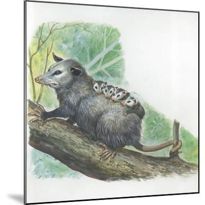 Virginia Opossum Didelphis Virginiana Carrying Cubs on Back--Mounted Giclee Print