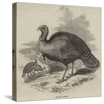 The Wild Turkey--Stretched Canvas Print