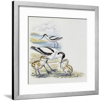 Pied Avocet (Recurvirostra Avosetta) with Chicks, Recurvirostridae--Framed Giclee Print