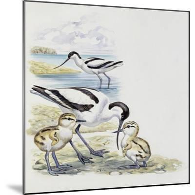 Pied Avocet (Recurvirostra Avosetta) with Chicks, Recurvirostridae--Mounted Giclee Print