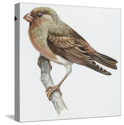 Zoology: Birds, Trumpeter Finch, (Rhodopechys Githaginea)--Stretched Canvas Print