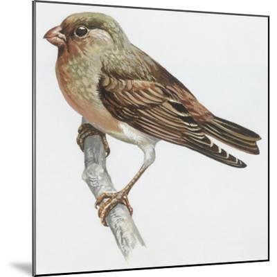 Zoology: Birds, Trumpeter Finch, (Rhodopechys Githaginea)--Mounted Giclee Print