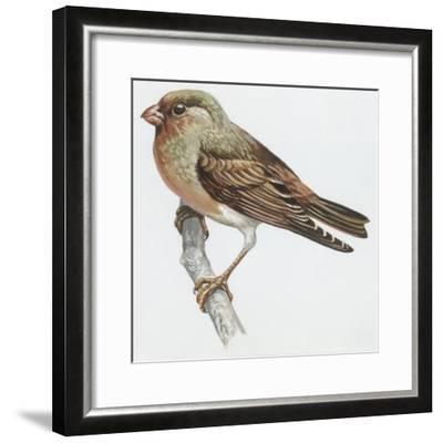 Zoology: Birds, Trumpeter Finch, (Rhodopechys Githaginea)--Framed Giclee Print