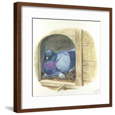 Rock Pigeon Columba Livia Warming Eggs in Nest--Framed Giclee Print