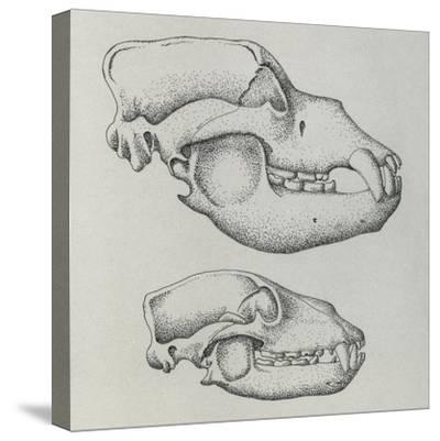 Evolution of Shape of Bear's Skull (Ursus Sp)--Stretched Canvas Print