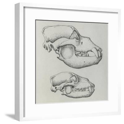 Evolution of Shape of Bear's Skull (Ursus Sp)--Framed Giclee Print