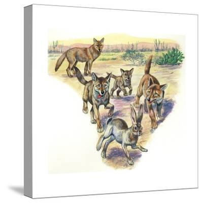 Coyote (Canis Latrans) and Pups Hunting Hare--Stretched Canvas Print