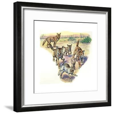 Coyote (Canis Latrans) and Pups Hunting Hare--Framed Giclee Print