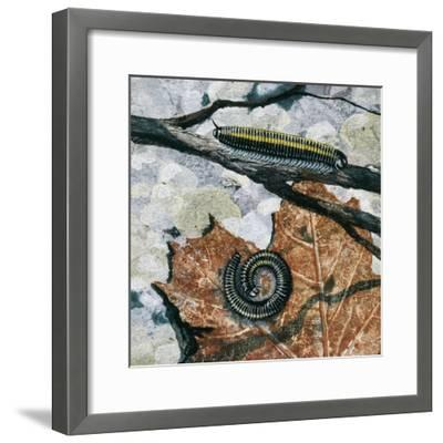 Millipedes (Julus Sp), Diplopoda, Drawing--Framed Giclee Print
