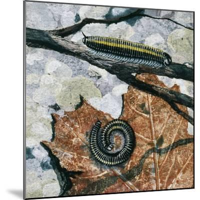 Millipedes (Julus Sp), Diplopoda, Drawing--Mounted Giclee Print