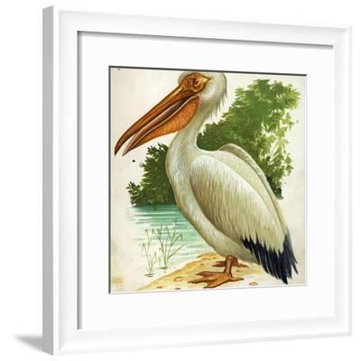 Great White Pelican Pelecanus Onocrotalus--Framed Giclee Print