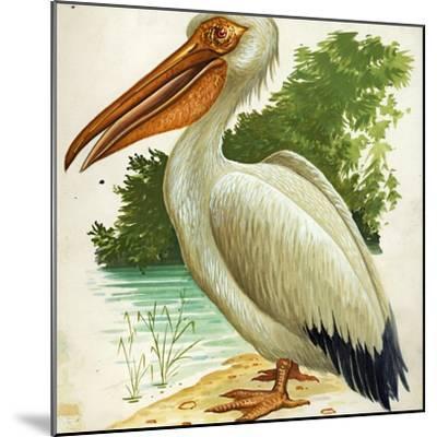 Great White Pelican Pelecanus Onocrotalus--Mounted Giclee Print
