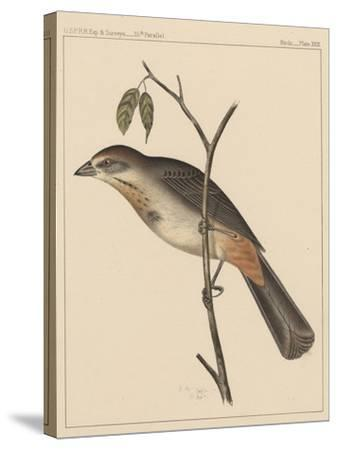 Birds, Plate XXIX, 1855--Stretched Canvas Print