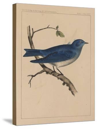 Birds, Plate XXXV, 1855--Stretched Canvas Print