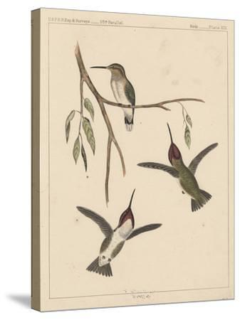 Birds, Plate XIX, 1855--Stretched Canvas Print