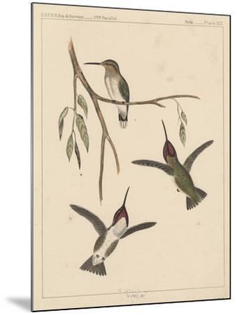 Birds, Plate XIX, 1855--Mounted Giclee Print