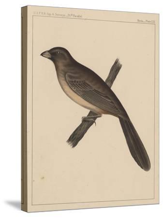 Birds, Plate XXX, 1855--Stretched Canvas Print