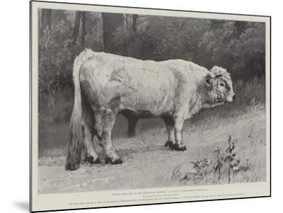 Studies from Life at the Zoological Gardens, a Chillingham Park Bull--Mounted Giclee Print