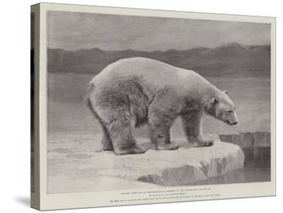 Studies from Life at the Zoological Gardens, Polar Bear on the Ice--Stretched Canvas Print