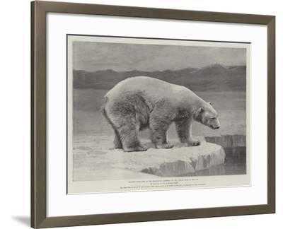 Studies from Life at the Zoological Gardens, Polar Bear on the Ice--Framed Giclee Print