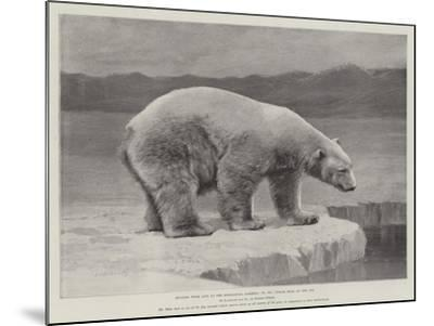 Studies from Life at the Zoological Gardens, Polar Bear on the Ice--Mounted Giclee Print