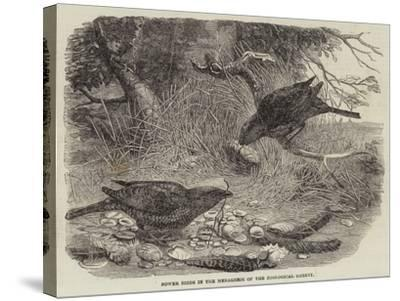 Bower Birds in the Menagerie of the Zoological Society--Stretched Canvas Print