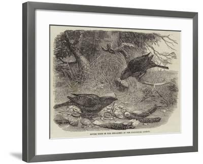 Bower Birds in the Menagerie of the Zoological Society--Framed Giclee Print