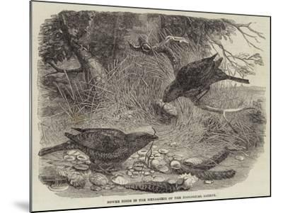 Bower Birds in the Menagerie of the Zoological Society--Mounted Giclee Print