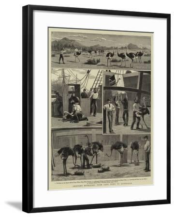 Shipping Ostriches from Cape Town to Australia--Framed Giclee Print