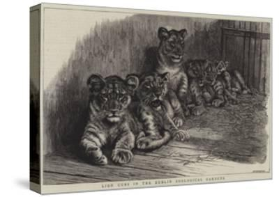Lion Cubs in the Dublin Zoological Gardens--Stretched Canvas Print