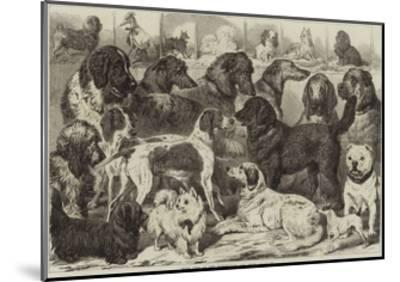 Prize Dogs at the Birmingham Dog Show--Mounted Giclee Print