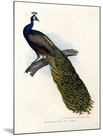 Indian Blue Peafowl, 1864--Mounted Giclee Print