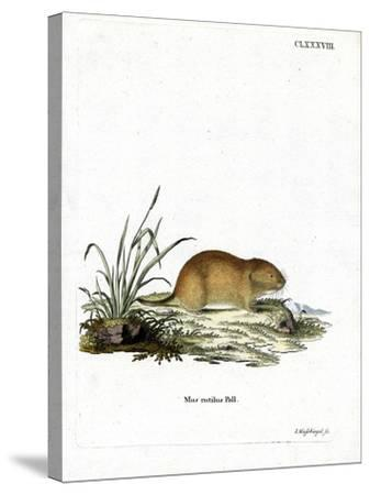 Northern Red-Backed Vole--Stretched Canvas Print