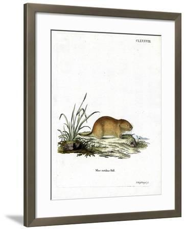 Northern Red-Backed Vole--Framed Giclee Print