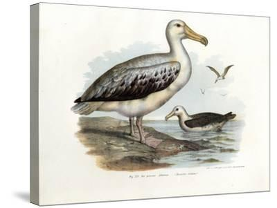 Wandering Albatross, 1864--Stretched Canvas Print