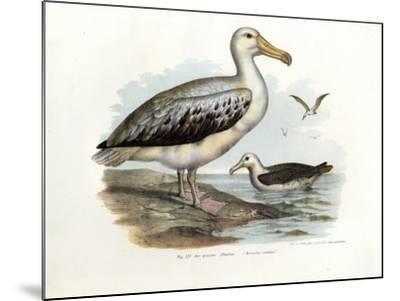 Wandering Albatross, 1864--Mounted Giclee Print
