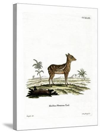 Indian Spotted Chevrotain--Stretched Canvas Print