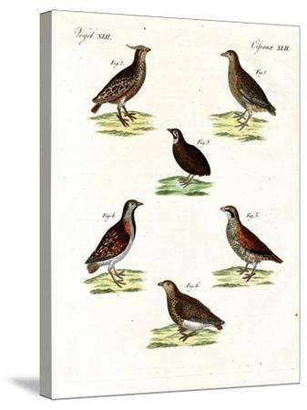 Different Kinds of Quails--Stretched Canvas Print