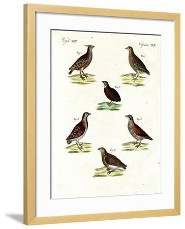 Different Kinds of Quails--Framed Giclee Print