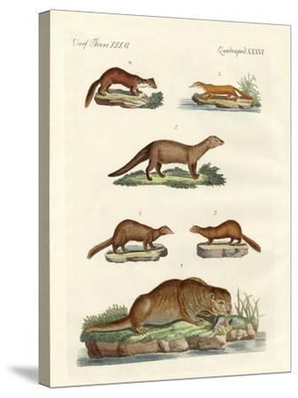 Kinds of Otters and Marten--Stretched Canvas Print