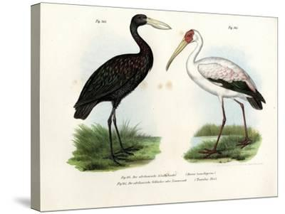 African Openbill Stork, 1864--Stretched Canvas Print
