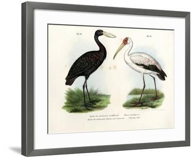 African Openbill Stork, 1864--Framed Giclee Print