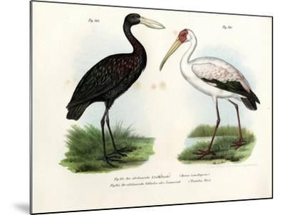 African Openbill Stork, 1864--Mounted Giclee Print