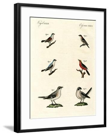 Different Kinds of Shrikes--Framed Giclee Print